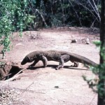 The most fearful iguana in Indonesia - the monitor lizard, known as the Komodo dragon!