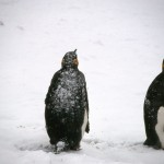 Penguins like the snow
