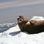 Seals love resting on the ice