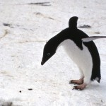 An Adelie penguin