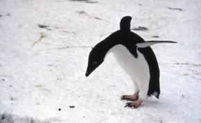 An Adelie penguin