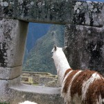 A llama sees the ruins of great Machu Picchu.