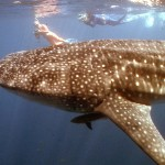 We swam with whale sharks in Western Australia!