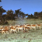 A herd of antelopes.