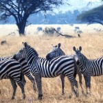 Do zebras have more black stripes or more white stripes?