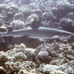 White tip reef sharks are not friendly.