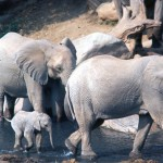 Elephants protect the little ones.