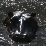 The hippo looks cool!