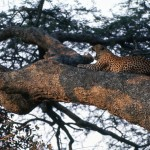 We were told we'd see a leopard before breakfast. We did!