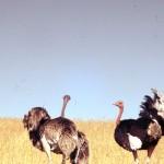 A pair of ostrich.