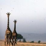 Giraffes can run fast!