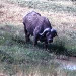 A Cape buffalo.