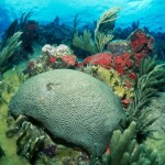 Brain coral in a reef! Photo by Jim Scheiner.