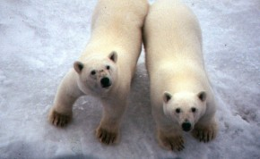I photographed these polar bears from the ship. You wouldn't want to go near their paws! One swipe would knock you down!